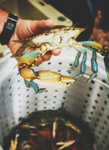 A raw blue crab being held in the air over a steamer basket.